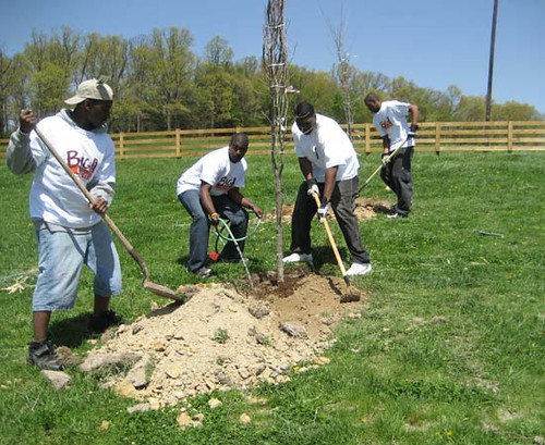 The Big Event volunteers working hard to plant a red maple.