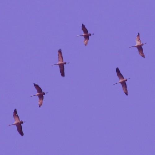 Cranes leaving Europe