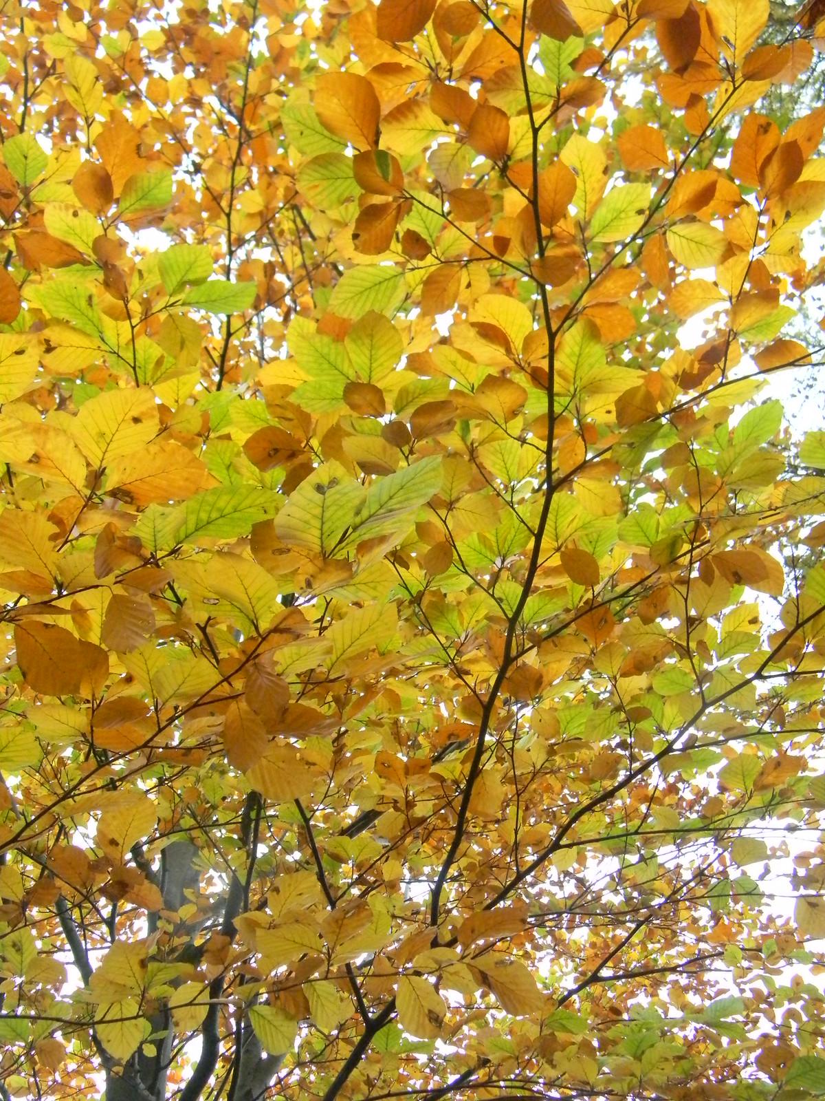 Autumn leaves Manningtree Circular