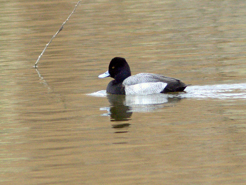Lesser Scaup 20111113 | by Kenneth Cole Schneider