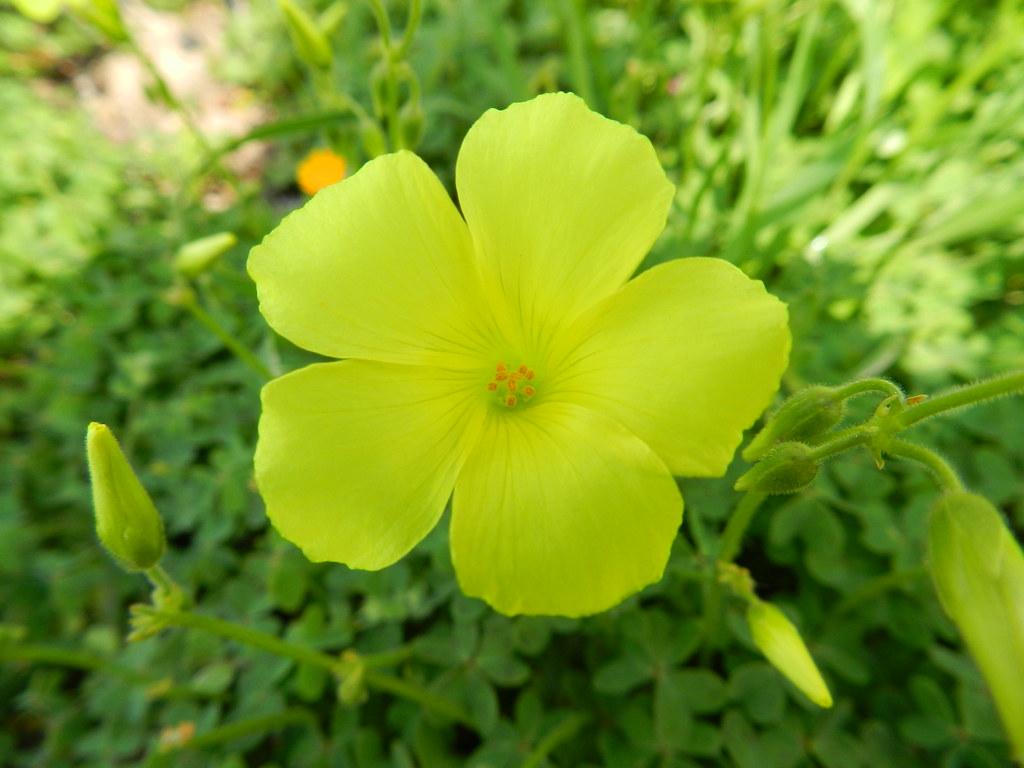 Fiore di quadrifoglio