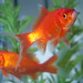 Goldfish - Photo (c) Brian Walter, some rights reserved (CC BY-NC-SA)