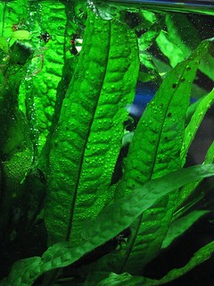 Java Fern Leaf | by Chris Drozdowski