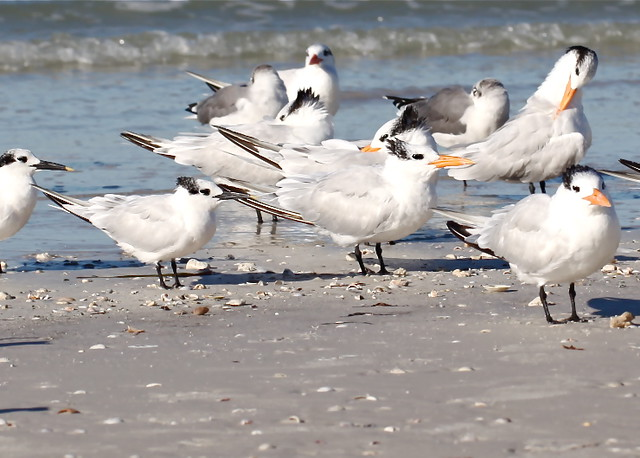 Royal Terns (Thalasseus maximus, syn. Sterna maxima)