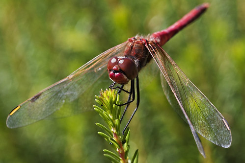 red macro turkey dragonfly bokeh antalya lara darter canon100mmmacro veined redveineddarter canon450d macrolife redveineddartermale
