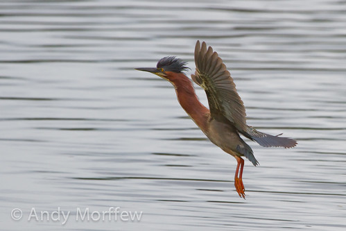 florida bif greenheron venicerookery naturethroughthelens birdperfect andymorffew morffew
