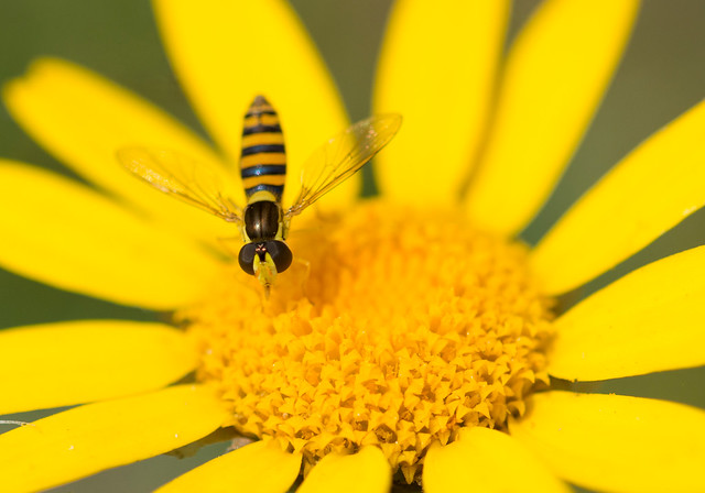 Hoverfly on Flower, Ickworth Park, England