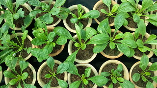 Radish seedlings growing in a pot | by Jnzl's Photos