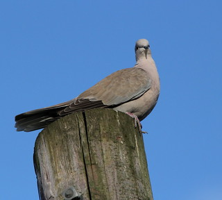Collared Dove | by themadbirdlady