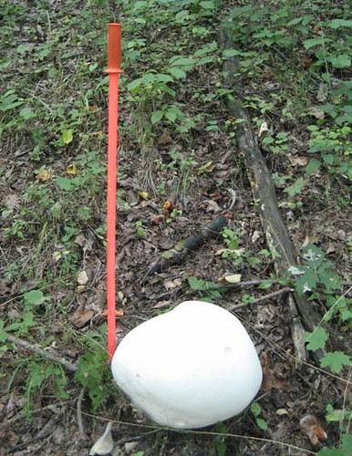 Giant puffball mushroom (Calvatia gigantea)