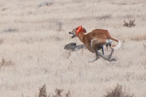 Saluki - Hunter and Hare
