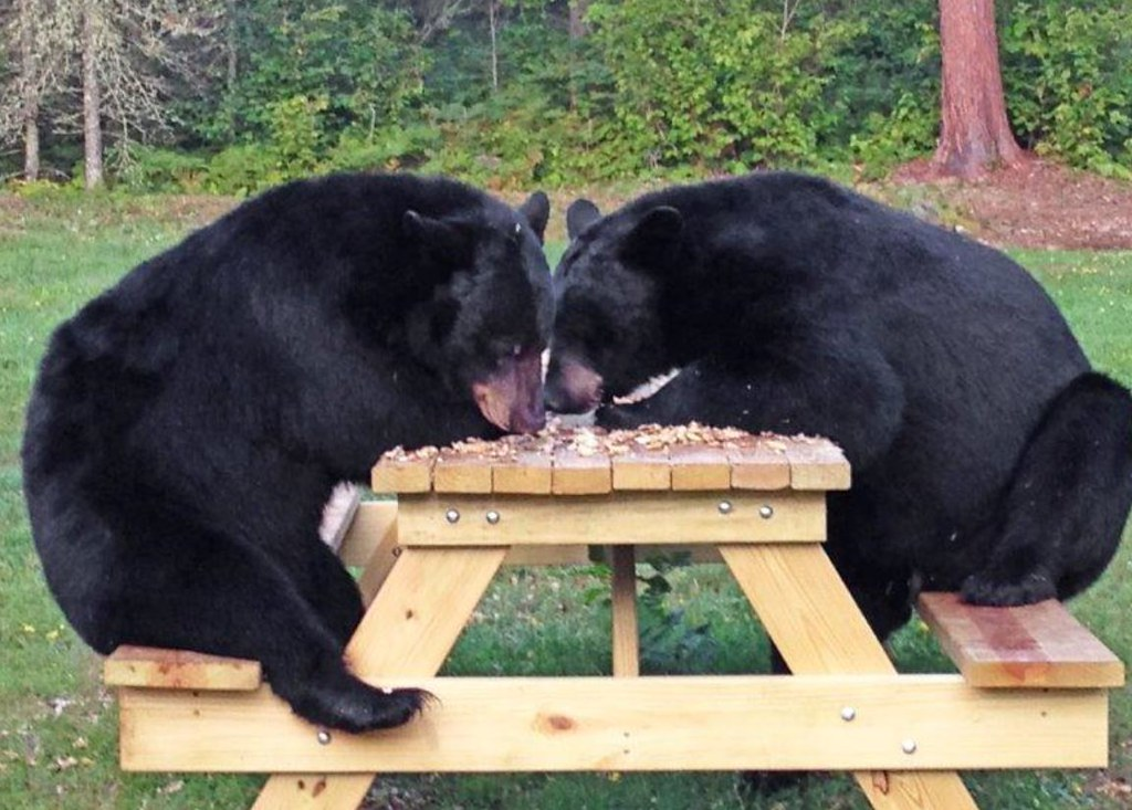 Genial 20150818 Two Bears Sitting U0026 Eating Nuts At A Picnic Table ...