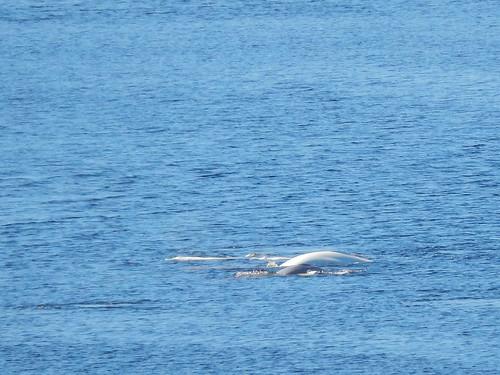 Parc Fjord du Saguenay - belugas met grijze baby