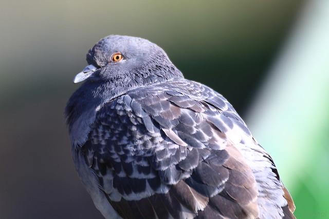 Pigeon IJ8A8913