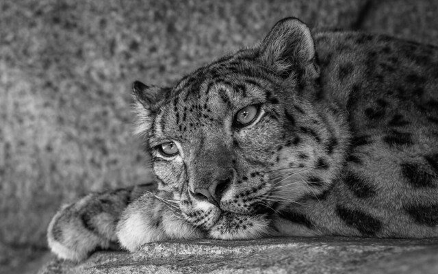 Snow Leopard Julika / Thank you for your visit