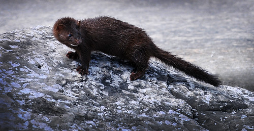 A Wild Mink on the Rocks