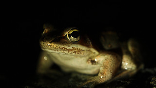 Wood frog (Lithobates sylvaticus) macro | by phl_with_a_camera1