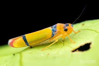 Leafhopper (Cicadellini) - DSC_4582