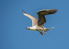 Red-footed Booby (adult, resident) by tickspics 