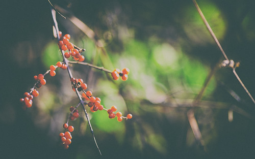 November Berries | by DavioTheOne