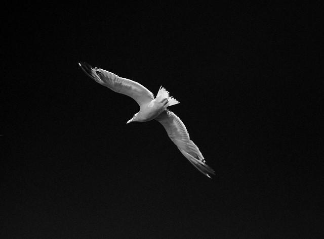sea gull - Aegina