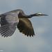 White -faced heron at Lake Ellesmere