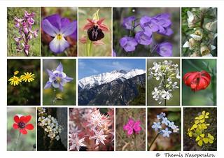 Wild flowers of Mount Olympus