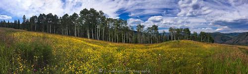 flowers panorama field yellow colorado wildflowers