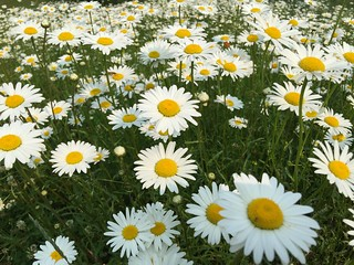 Love this photo of the Daisy Field.  Some perspective is cool. | by helmblogger