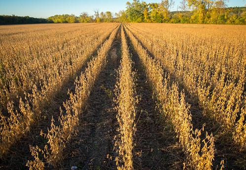 orange fall field vanishingpoint rows