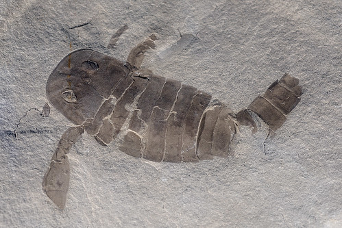Eurypterid (Sea Scorpion) fossil