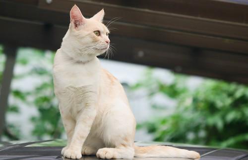 IMG_5356 Cream tabby Japanese cat 薄茶トラ猫