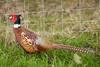 Common pheasant profile by quinet