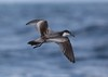 1181 Buller's Shearwater by leehunterphotos