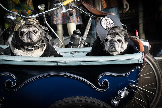 Biker pugs