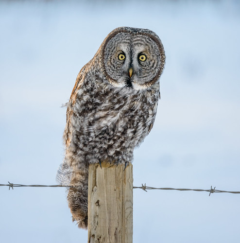 Great Grey Owl - Strix nebulosa (Strigidae) 117v-22145 | by Perk's images