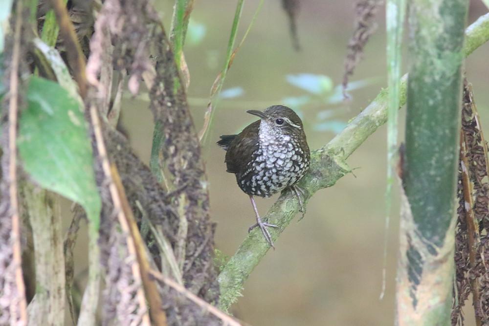 Sharp-tailed Steamcreeper  (Lochmias nematura)