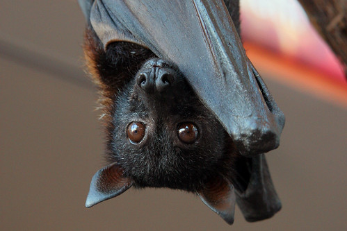 Malayan Flying Fox (closeup) | by littleREDelf