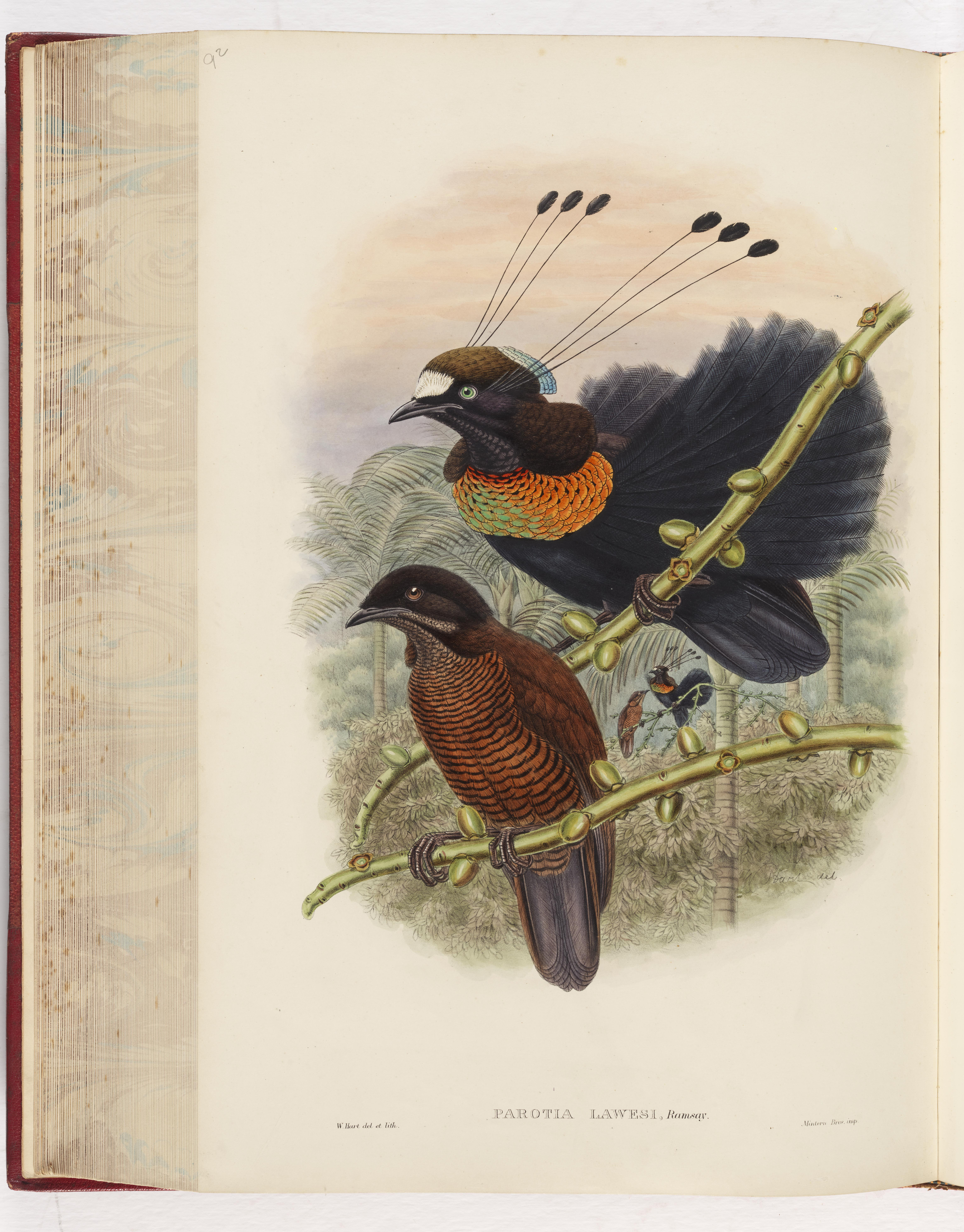 Parotia lawesi, Lawes Bird of Paradise from John Gould's the Birds of New Guinea and the adjacent Papuan islands, London, 1875-1888