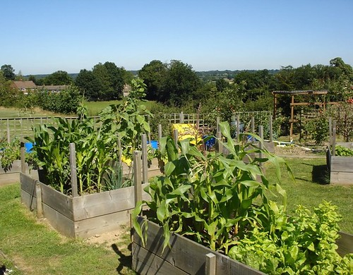 Growing Sweetcorn in our raised beds | by Hawkhurst CEP School Web Site Photos
