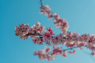 樂活公園櫻花