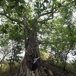 So, 16.08.15 - 13:02 - Riesenbaum