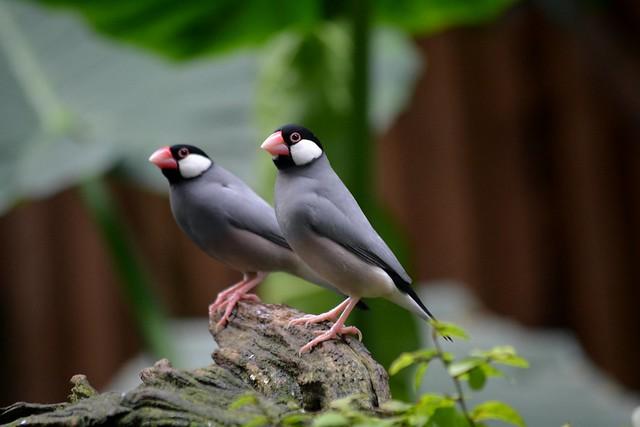 Java Finches (Lonchura oryzivora)