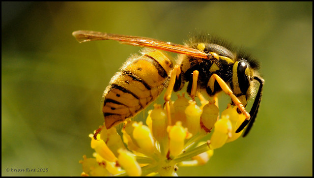 wasp on fennel flower