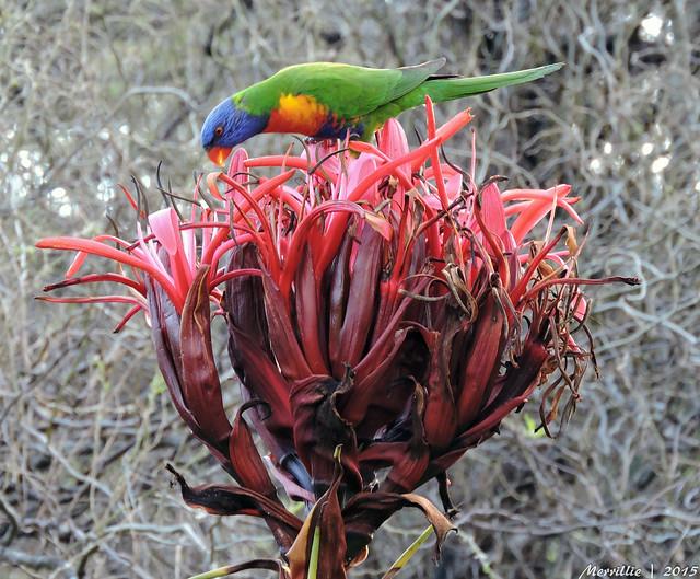 Rainbow Lorikeet enjoying the fruits of the Gymea Lily