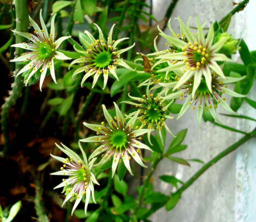 Sempervivum flower