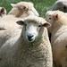 Sheep AU-NZ