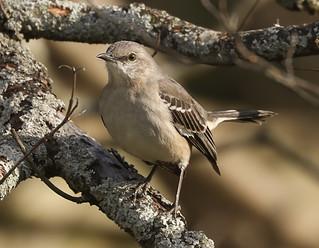 A Mockingbird | by MedicineMan4040