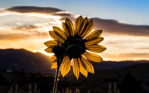 county flowers blue sun foothills black flower beautiful weather yellow clouds creek sunrise photography foot gold petals pretty day skies susan joshua weekend labor scenic hills idaho clear trail sunflowers sunflower eyed laborday sagebrush pocatello bannock junipers trailcreek 83201 joshuaww