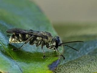 New  Zealand Native Bee
